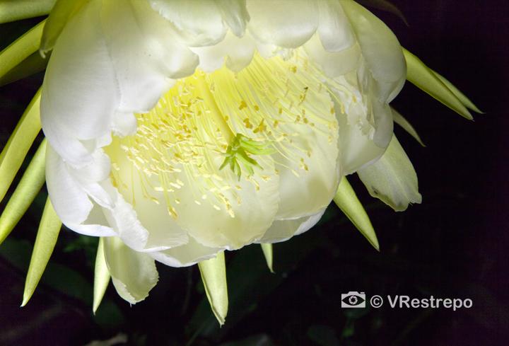 Pithaya flower