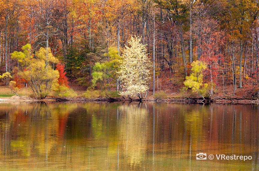 VRestreoi_yellow_trees_14.jpg