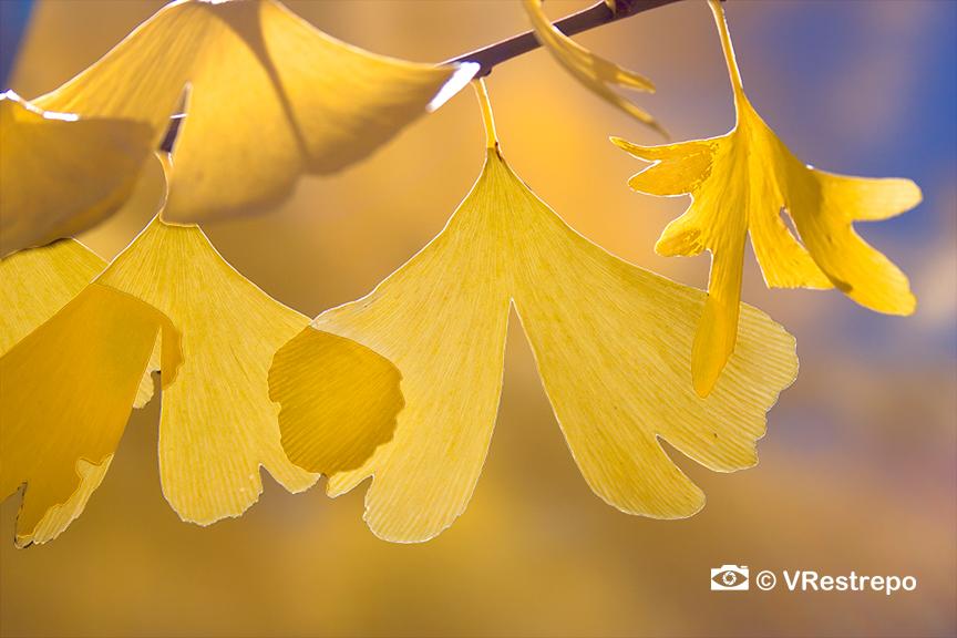 VRestreoi_yellow_trees_20.jpg