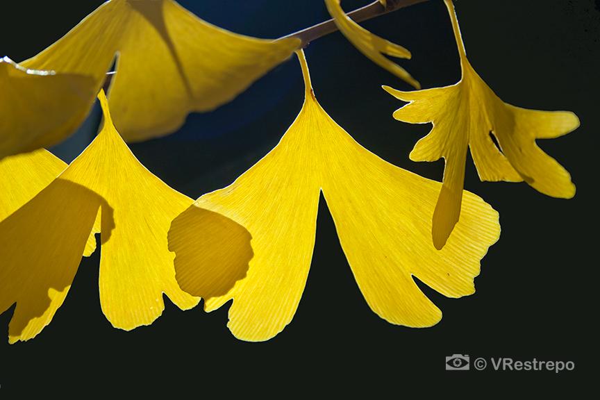 VRestreoi_yellow_trees_21.jpg