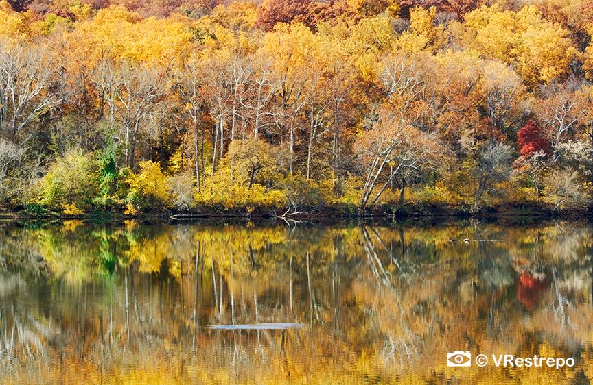 VRestreoi_yellow_trees_23.jpg