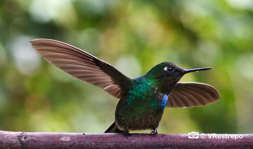 VRestrepo_Hummingbirds_birds_11.jpg