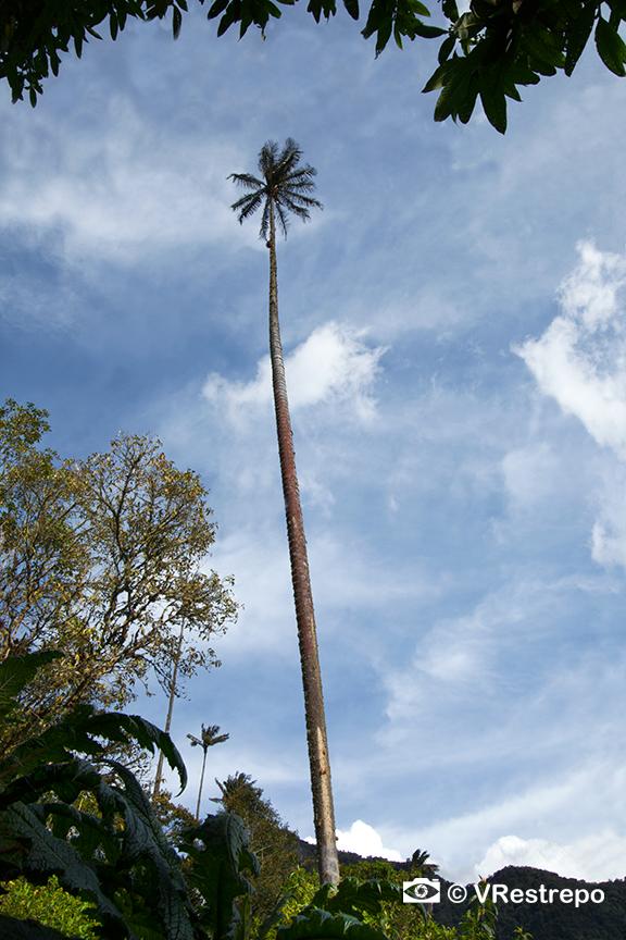 VRestrepo_Wax_Palm_Forest_02.jpg