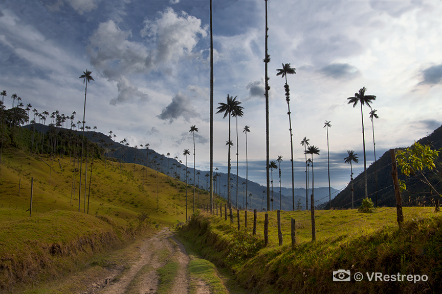 VRestrepo_Wax_Palm_Forest_03.jpg