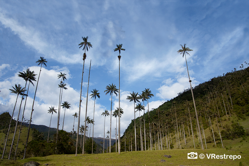 VRestrepo_Wax_Palm_Forest_04.jpg