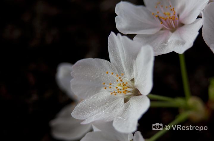 VRestrepo_cherryBlossom_03.jpg