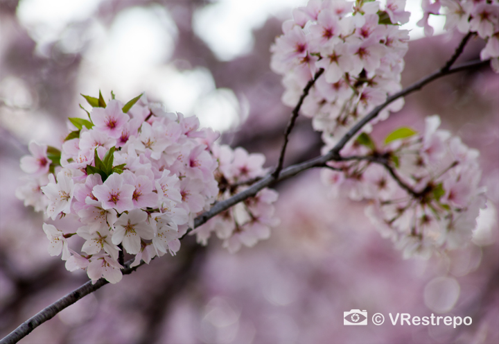 VRestrepo_cherryBlossom_05.jpg