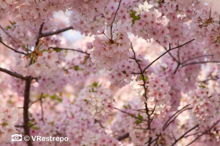 VRestrepo_cherryBlossom_08.jpg