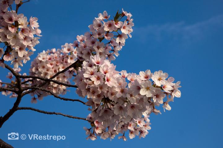 VRestrepo_cherryBlossom_09.jpg