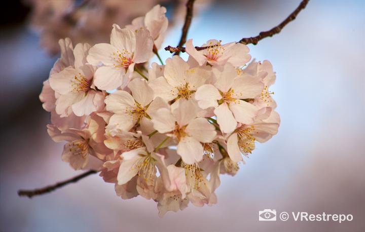 VRestrepo_cherryBlossom_10.jpg