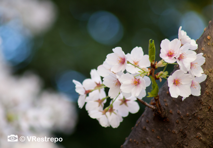 VRestrepo_cherryBlossom_11.jpg