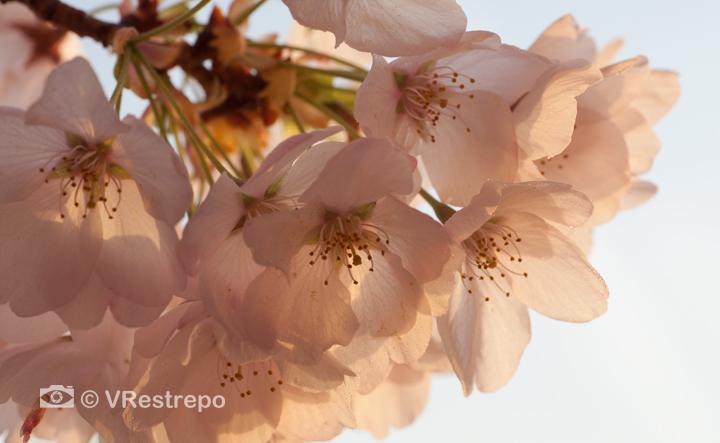 VRestrepo_cherryBlossom_12.jpg