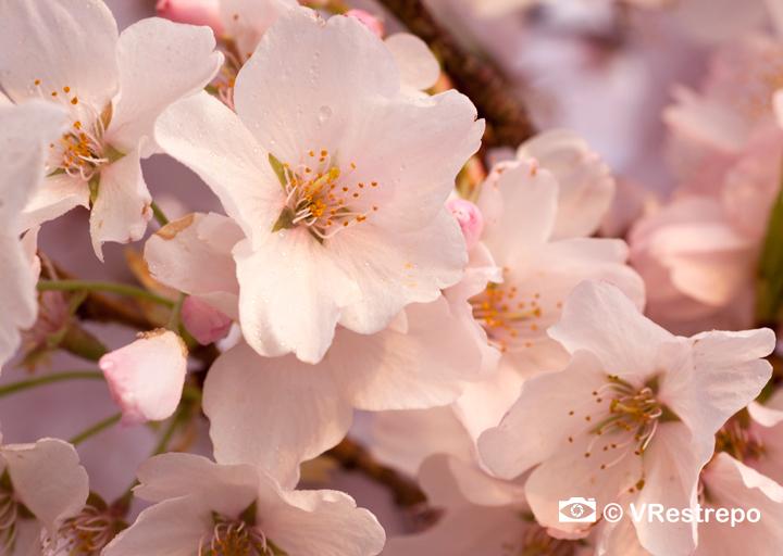 VRestrepo_cherryBlossom_13.jpg