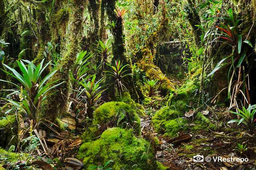VRestrepo_rainforest_03.jpg