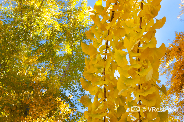 V_Restrepo_yellow_fall_01.jpg
