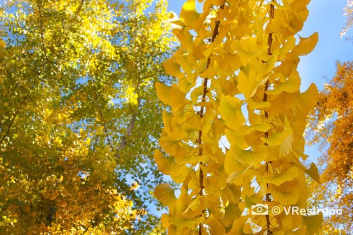 V_Restrepo_yellow_fall_01.jpg