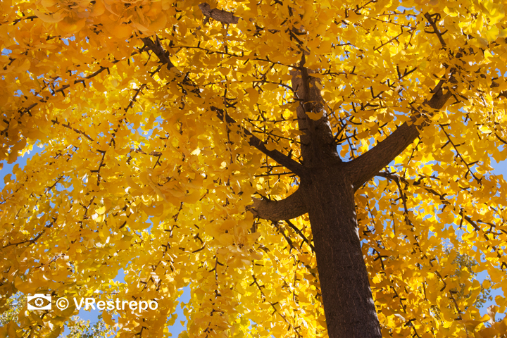 V_Restrepo_yellow_fall_02.jpg