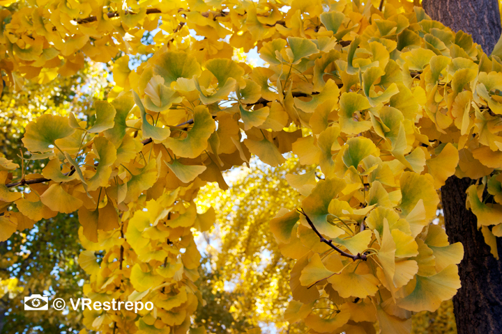 V_Restrepo_yellow_fall_03.jpg
