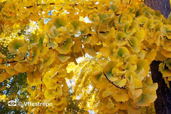 V_Restrepo_yellow_fall_03.jpg