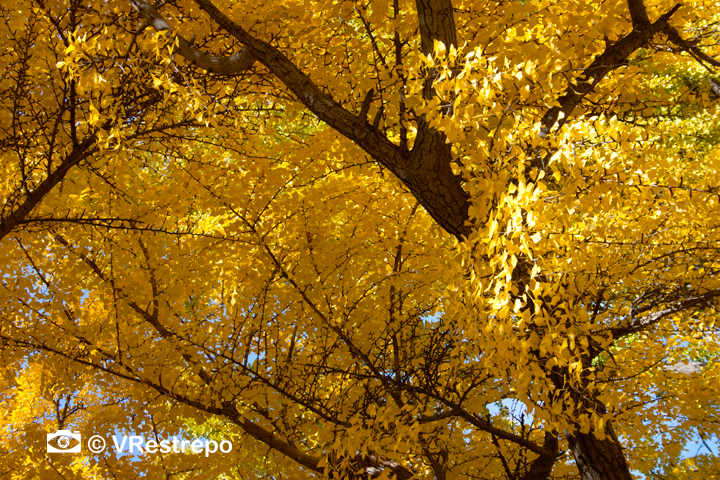 V_Restrepo_yellow_fall_04.jpg