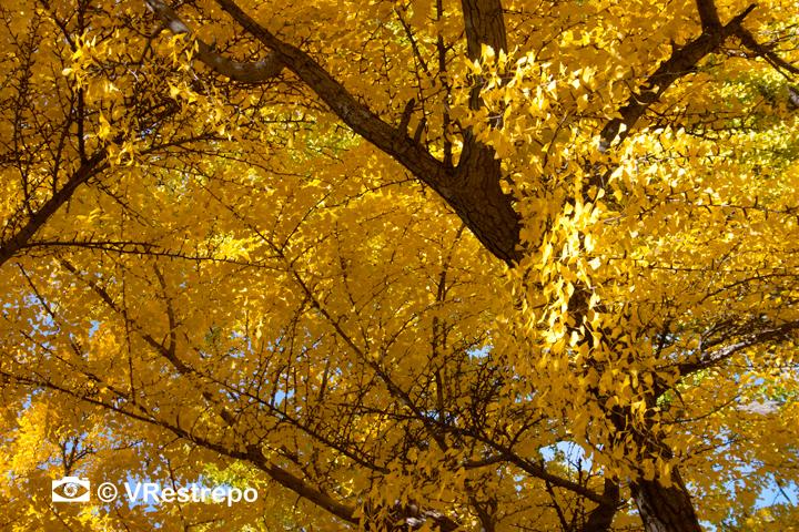 V_Restrepo_yellow_fall_04.jpg
