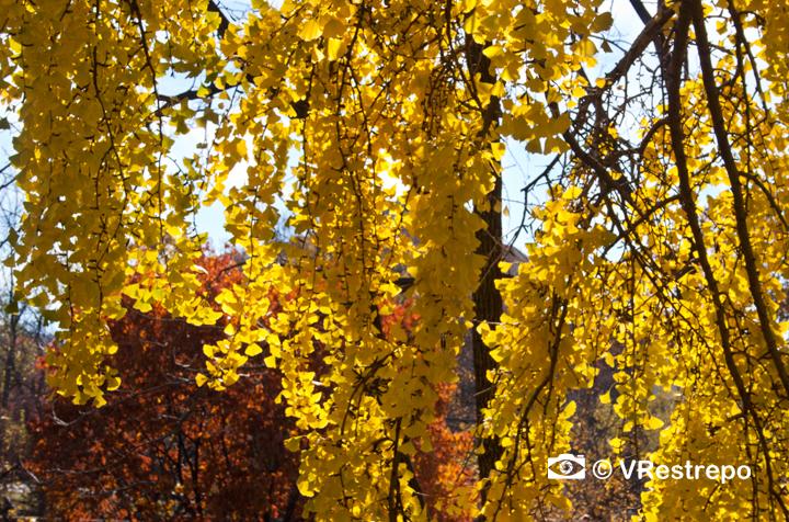 V_Restrepo_yellow_fall_06.jpg