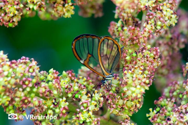 Butterfly in a mango flower